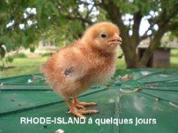 poule rhode island red